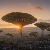 Dragon blood trees at socrota Daniel Kordan 01